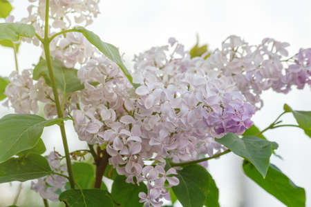Colorful flowering branches of lilac in spring garden