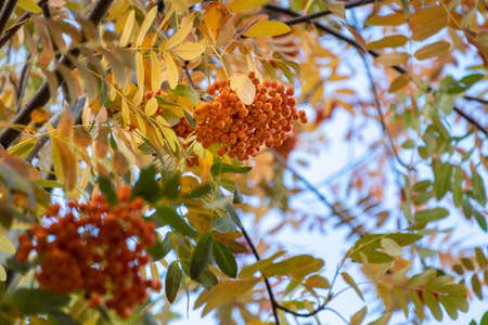 Rowan berries on a branch with yellow leaves in autumn