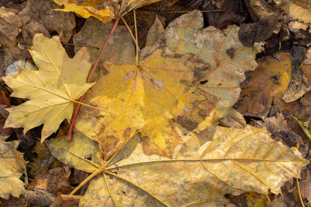 Background from old, autumnal, fallen leaves lying on the ground 版權商用圖片