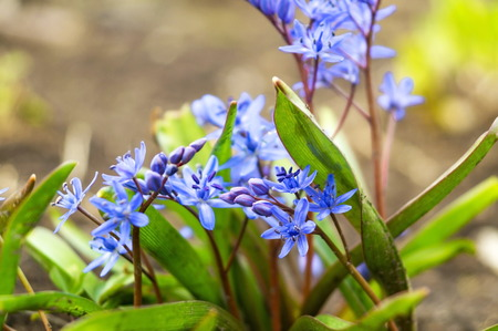 Bllue Two-leaf squill, Alpine squill or Scilla bifolia in the forest. 免版税图像