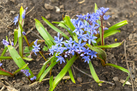 Bllue Two-leaf squill, Alpine squill or Scilla bifolia in the forest. Stock Photo