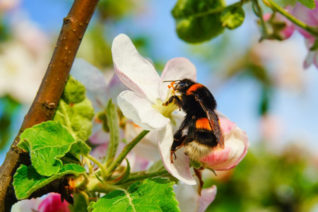 Apple blossom and bumblebee on branches, fresh spring background.