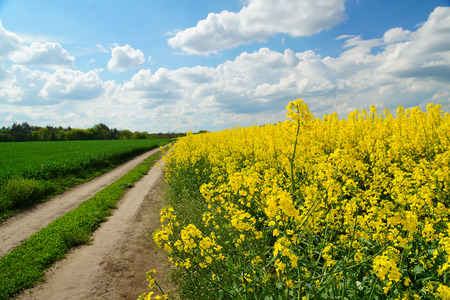 Rapeseed or Brassica napus, also known as rape and oilseed rape is a bright yellow flowering member of the family Brassicaceae, cultivated mainly for its oil-rich seed. Stockfoto