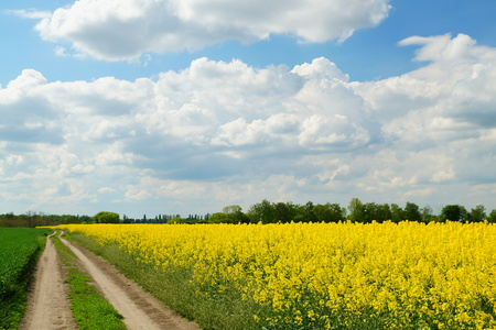 Rapeseed or Brassica napus, also known as rape and oilseed rape is a bright yellow flowering member of the family Brassicaceae, cultivated mainly for its oil-rich seed. 스톡 콘텐츠 - 122672115