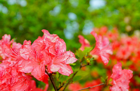 Rhododendron simsii Indian Azalea, Simss Azalea. The attractively wild rose, magenta or dark red shade, ruffle petals.