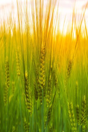 Young green barley with long spikelets growing summer on an agricultural field
