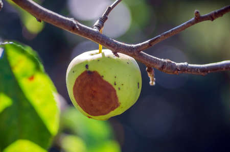 Bacterial diseases of the apple tree manifest as lesions or rotting of green fruit