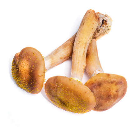 Three mushrooms honey agaric on white isolated background.