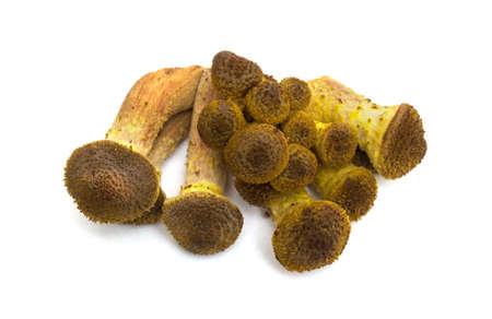 Heap mushrooms honey agaric on white isolated background.