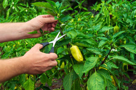 The farmer cuts the sprouts into the peppers with scissors for a good harvest. Close-up of the hands of an agronomist during work. Caring for bell pepper in the garden