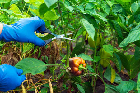 The farmer cuts the sprouts into the peppers with scissors for a good harvest. Close-up of the hands of an agronomist during work. Caring for bell pepper in the garden.