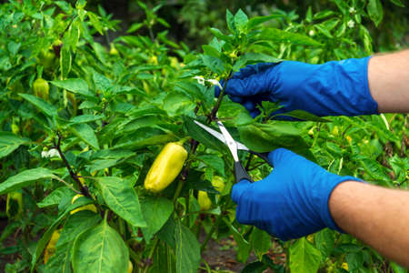 Farmer cuts the sprouts into the peppers with scissors for a good harvest. Close-up of the hands of an agronomist during work. Caring for bell pepper in the garden. Standard-Bild