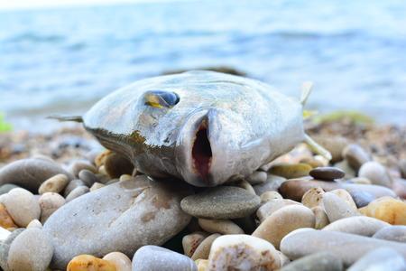 Black Sea Diplodus annularis on the seashore
