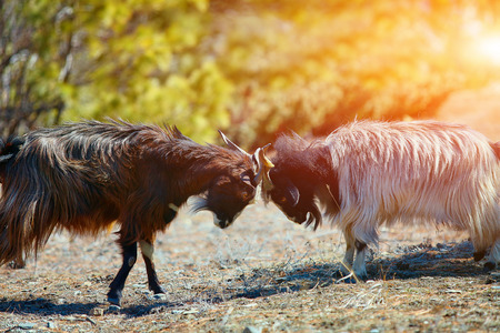 animal fight: mountain goats fighting. Nepal, Hamalayas mountains. Trek around Annapurna mount Stock Photo
