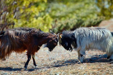 mountain goats: mountain goats fighting. Nepal, Hamalayas mountains. Trek around Annapurna mount Stock Photo