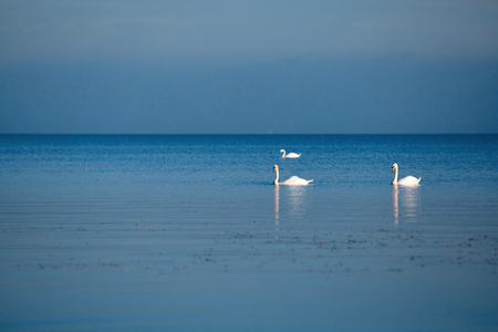 white swans on the Balaton Lake early in the morning