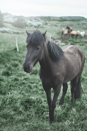Travel to Iceland. horses is passionate in the field. Beautiful black horse looking at camera