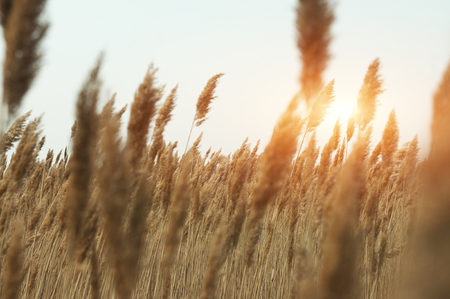 Field with gold ears of wheat close up in sunset. Summer background of ripening ears of landscape. Wheat field natural product. Raw eco bio food concept.