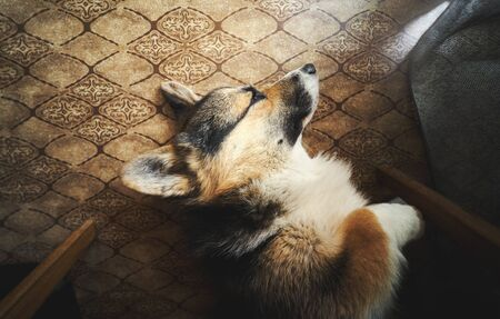 Portrait of cute sleeping Welsh Corgi dog take some rest on the floor with vintage pattern. Pets indoors, home, lifestyle.