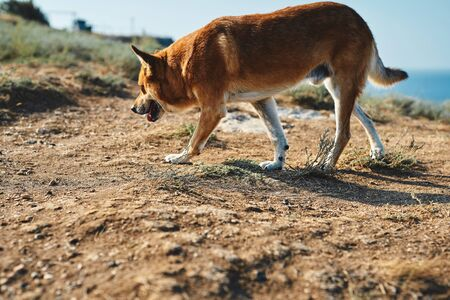 Big red dog, look like fox, walking on cliff of seashore at sunny day Zdjęcie Seryjne