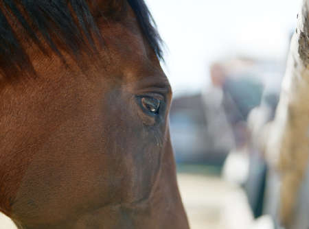 Closeup portrait brown horse at farm or ranch, sad horse eye, farm animal concept
