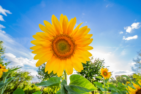 sunflower with blue sky and white clouds Banco de Imagens