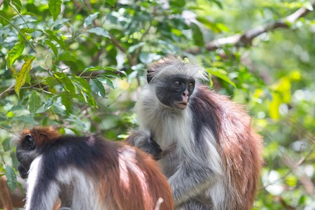 Red colobus Piliocolobus kirki monkey on the deposed wood , Jozani forest, Zanzibar, Tanzania Banco de Imagens