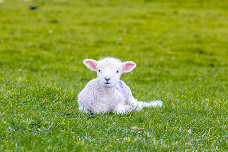 Newborn baby sheep on green gras in England