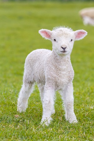 a very young, small lamb on green meadow in England