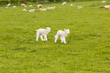 two lambs in a meadow in England