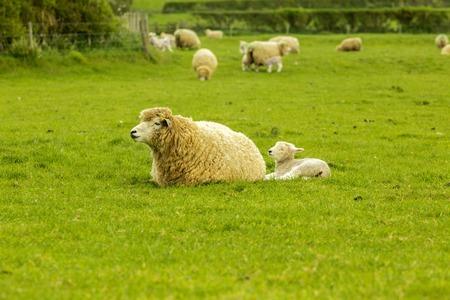 Agnello che si alimenta da sua madre in un prato in una fattoria in Inghilterra