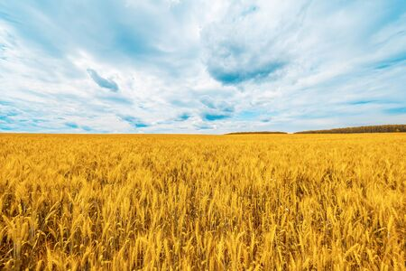 Wheat field with blue sky with sun and clouds. Beautiful nature Imagens