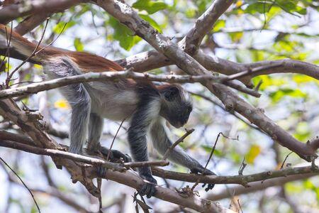 Red colobus Piliocolobus kirki monkey on the deposed wood , Jozani forest, Zanzibar, Tanzania Imagens