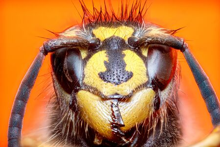 Extreme sharp and detailed study of wasp head on green background taken with microscope objective stacked from many shots into one photo Imagens