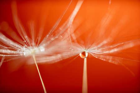 Beautiful water drop on a dandelion flower seed macro in nature. Beautiful deep saturated Orange background.