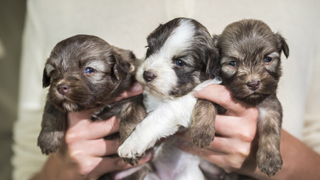 Woman holding three cute little puppies