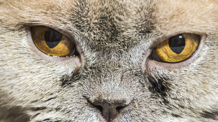 Portrait of a cat with soured eyes and vision problems Stock fotó