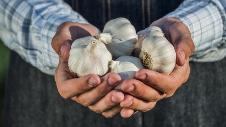 Farmers hands hold several delicious garlic bulbs
