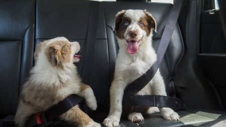 A couple of funny puppies travel in the car, wearing a seat belt. Dogs passengers Foto de archivo