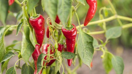 Red hot pepper ripens in the garden Imagens