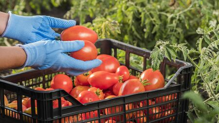 Farmers hands are holding several ripe tomatoes in the garden. Harvesting vegetables Imagens