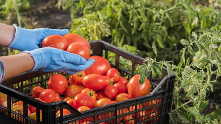 Farmers hands are holding several ripe tomatoes in the garden. Harvesting vegetables Standard-Bild