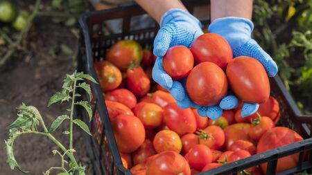 Top view of Farmers hands are holding several ripe tomatoes in the garden. Harvesting vegetables