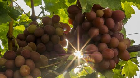 Juicy bunches of grapes sing in the sun