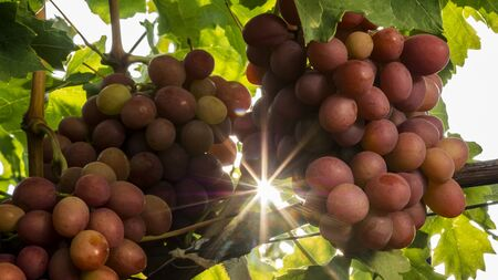 Bunches of grapes - raw materials for the production of wine matures in the sun