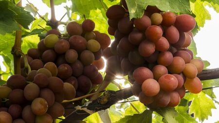 Appetizing bunches of grapes on the vine