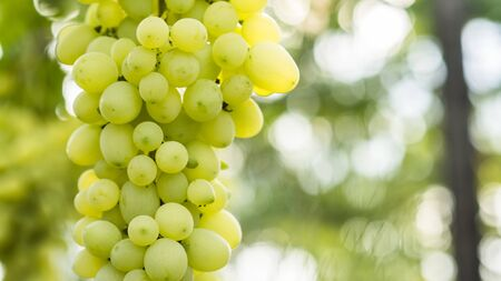 Green grapes are singing on the vine