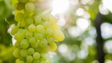 The sun illuminates a bunch of green grapes on the vine Imagens