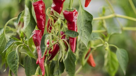 Appetizing red hot pepper grows in the garden