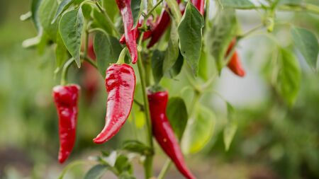 Red hot pepper grows in a small farm garden